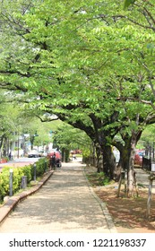 Fresh green trees Harima slope in Bunkyo-ku, Tokyo.Cherry blossom trees envelop the slopes that continue gently for about 500 meters.