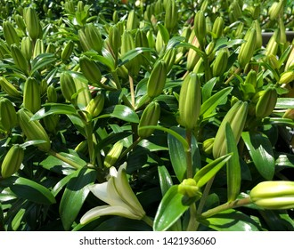 Fresh green unopened Asiatic lily buds in a garden