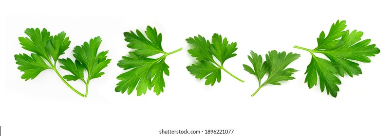 Fresh green vegan vitamin parsley isolated on white background
