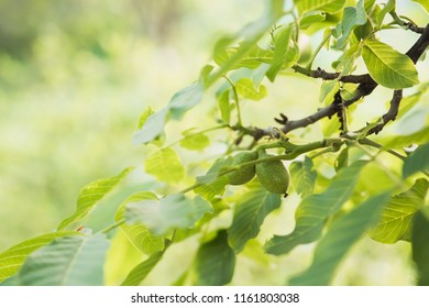 fresh green walnut tree branch with ripening fruits by summer evening