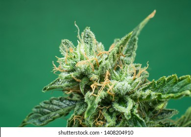 Fresh green weed In details. Marijuana bud close up. Macro trichomes cannabis. Indica flower. CBD THC in Pot. On green background