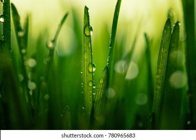fresh green wheat after rain ,macro