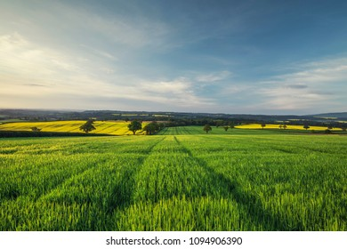 Fresh green wheat field in morning surise light. Countryside of Shropshire in United Kingdom
