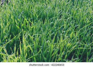 Fresh green wheat grass with drops dew in the morning light