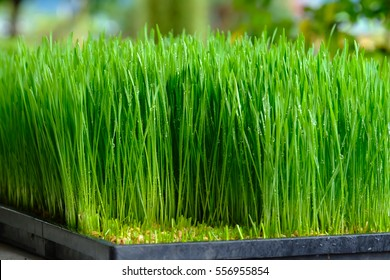 Fresh green wheat grass with drops dew, green background