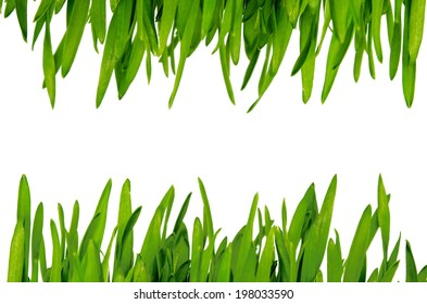 fresh green wheatgrass  isolated on white background.