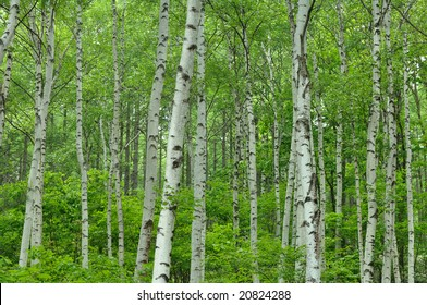 The fresh green of the white birch