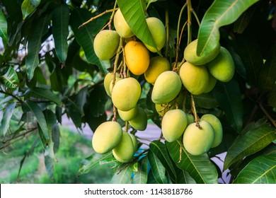 Fresh green and yellow mangoes on a mango tree. Mangifera indica L. Var.