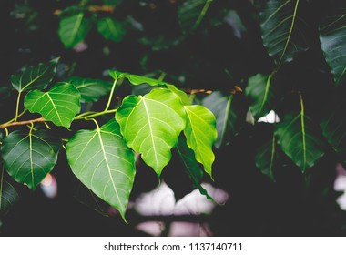 Fresh green and young Bodhi leaves. Pipal leaves. Bo tree, stem and branch. Low key dark tone.