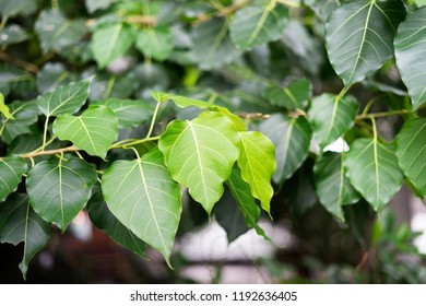 Fresh green and young Bodhi leaves. Pipal leaves. Bo tree, stem and branch in morning spring.