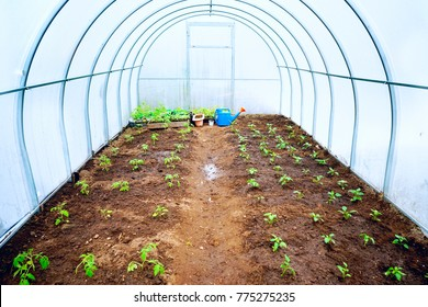 Fresh green young seedlings of sweet pepper plants and tomatoes in a brown soil in greenhouse with a blue garden watering can in spring. There is free space for text.