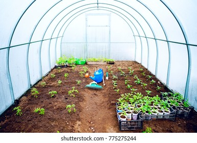 Fresh green young seedlings of sweet pepper plants and tomatoes in a brown soil in greenhouse with a blue garden watering can, raker. There is free space for text.