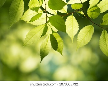 Fresh green zelkova leaves