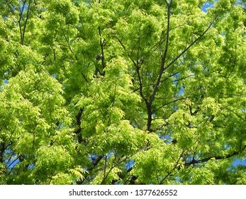 Fresh green zelkova tree
