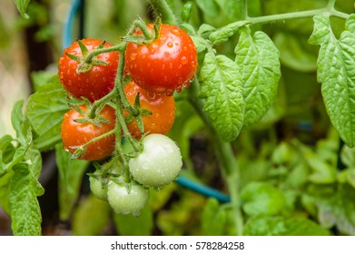 Fresh growing cherry tomatoes in the garden with wire rings