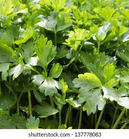 Fresh growing flat leaf parsley background.