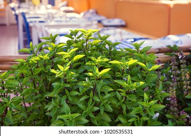 Fresh growing mint herb in mediteranean outdoor restourant or cafe