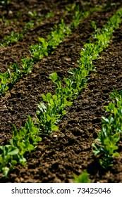 Fresh, growing pea plant seedling on garden plowed field