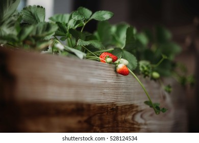 fresh growing strawberries begin to riped