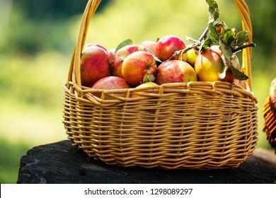 Fresh Harvest of Apples. Apples in Basket on Grass. Nature fruit concept.