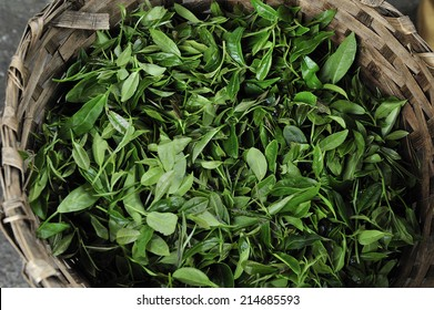 Fresh harvest of Darjeeling tea at tea garden, Darjeeling, India