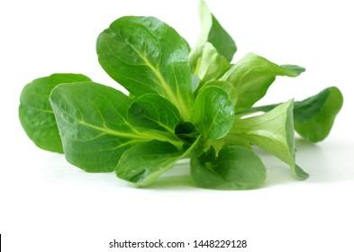 Fresh harvest, green lambs lettuce