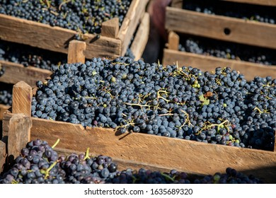 Fresh harvest red winemaking  grape bunches in a wooden boxes. Winemaking industry concept