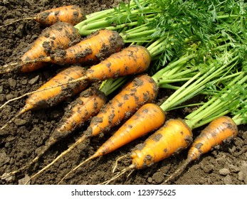 fresh harvested carrots on ground