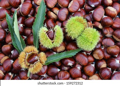 Fresh harvested chestnuts with burrs and leaves