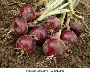 fresh harvested red onion bulbs