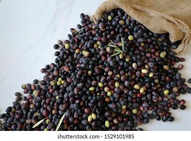 Fresh harvested ripe black olives, a Mediterranean fall  sign.  Background,Copy space against white background. Olive oil cold press industry, olives fermentation, Mediterranean diet concept.