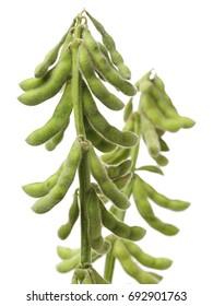Fresh harvested soybean (edamame) plant isolated on white background