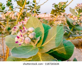 fresh and healthy growing giant milkweed with beautiful crown flowers and cloudy sky in the background