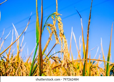 fresh and healthy growing rice fields landscape in Asia and it's ready for harvest and bright and beautiful blue sky in the background