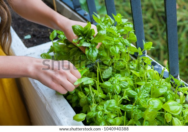 Fresh herbs collected by young woman in a home garden
