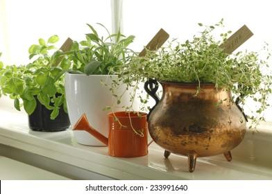 Fresh herbs in pots on window