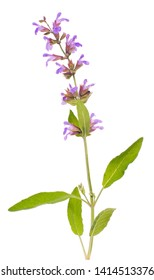 Fresh herbs - single salvia with flowers twig isolated - aromatic culinary spice - herbal medicine Salvia L plant