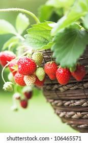 Fresh home grown strawberries
