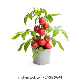 Fresh  home grown tomato plant with tomatoes. Concept of huge harvest