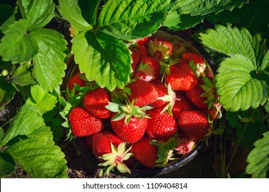 Fresh homegrown strawberries in bowl between strawberry bushes. Ripe red berries picked in home garden. Summer fruits vivid colorful background