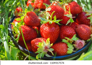 Fresh homegrown strawberries in bowl just after harvesting. Ripe red berries picked in home garden. Summer fruits bright colorful background