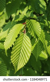 Fresh hornbeam (Carpinus betulus) tree leaves shining in the sunlight with a blurred background of leaves.