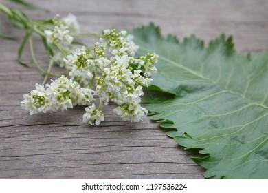 fresh horseradish flower and horseradish leaf on wooden background