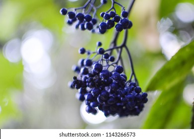 huckleberry images stock photos vectors shutterstock