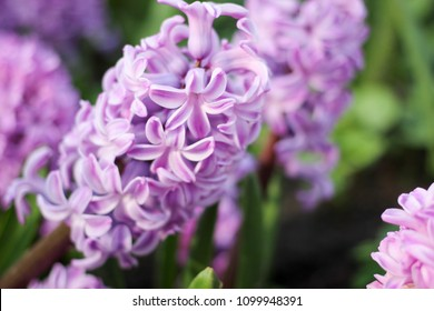 Fresh hyacinths on land in a park with blurred backdrop. Shallow depth of field nature floral background.