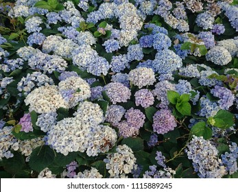 Fresh hydrangeas in full bloom during spring