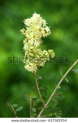 Fresh Indian Henna Flowers Plant Sallow Stock Photo Edit Now
