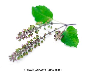 Fresh Indian holy basil or tulsi leaves isolated over white background