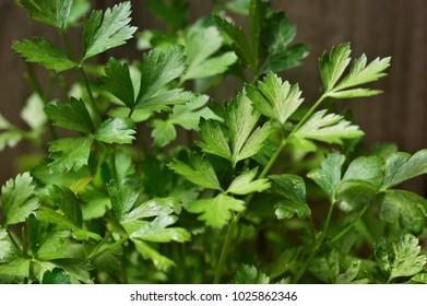 Fresh Italian parsley leafs