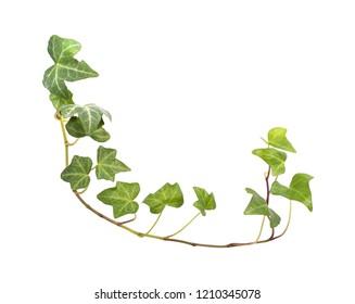 Fresh ivy leaves isolated on white background